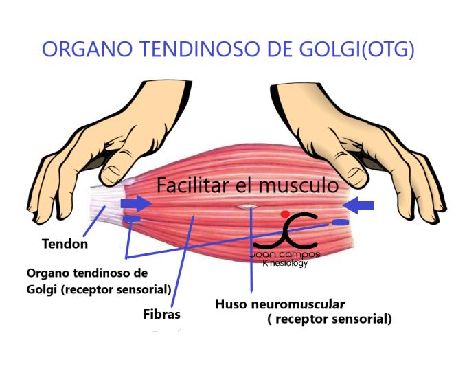 facilitar el musculo organo tendinoso de golgi 2.png
