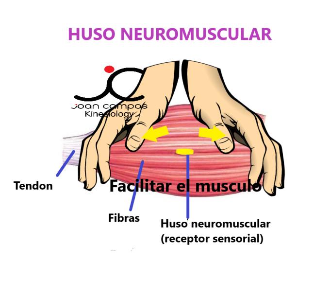 HUSO NEUROMUSCULAR facilitar el musculo 2
