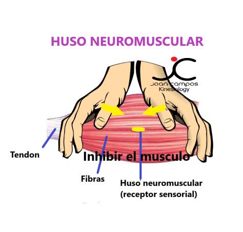 HUSO NEUROMUSCULAR - inhibir el musculo 1